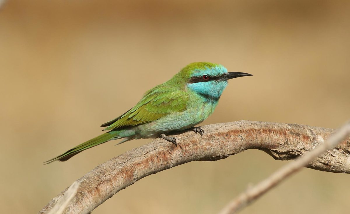 JBW Little Green Bee-eater