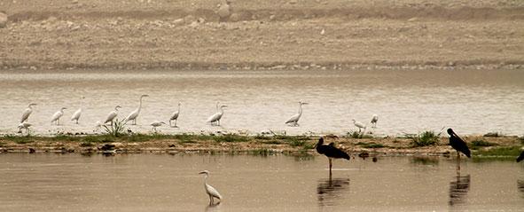 JBW wet land migratory birds