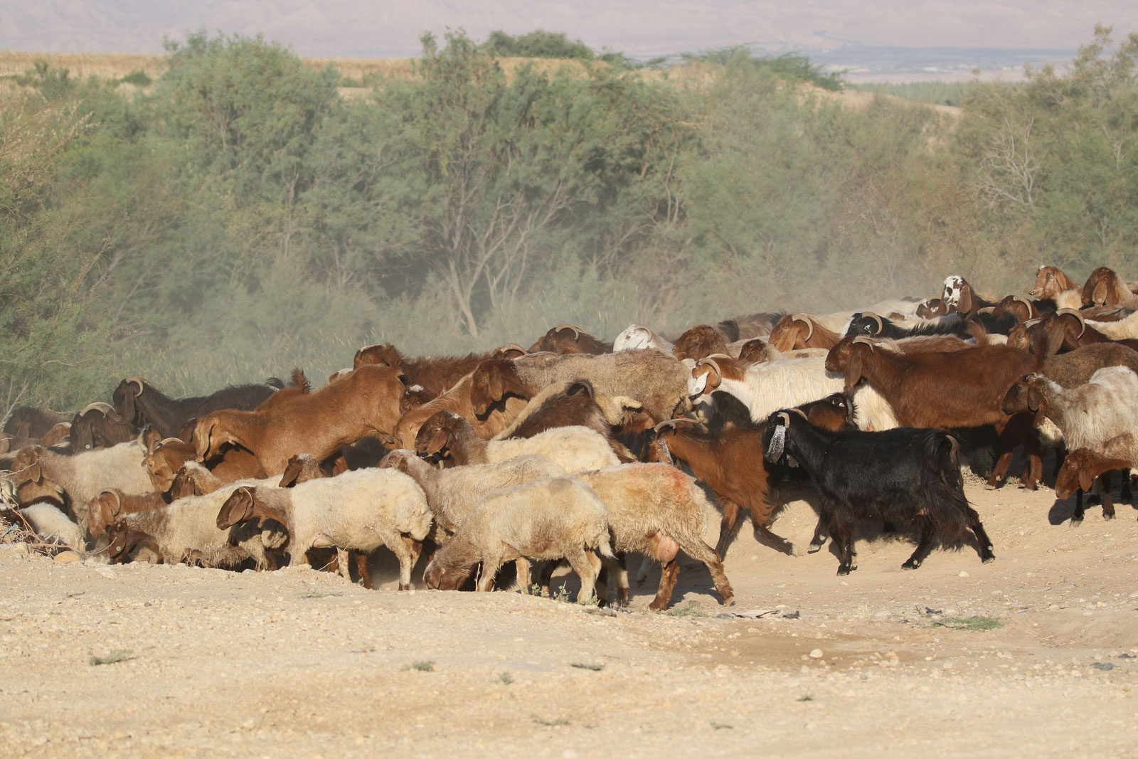 Herds, wild grazing