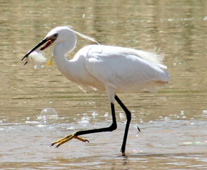 JBW Little Egret in Jordan