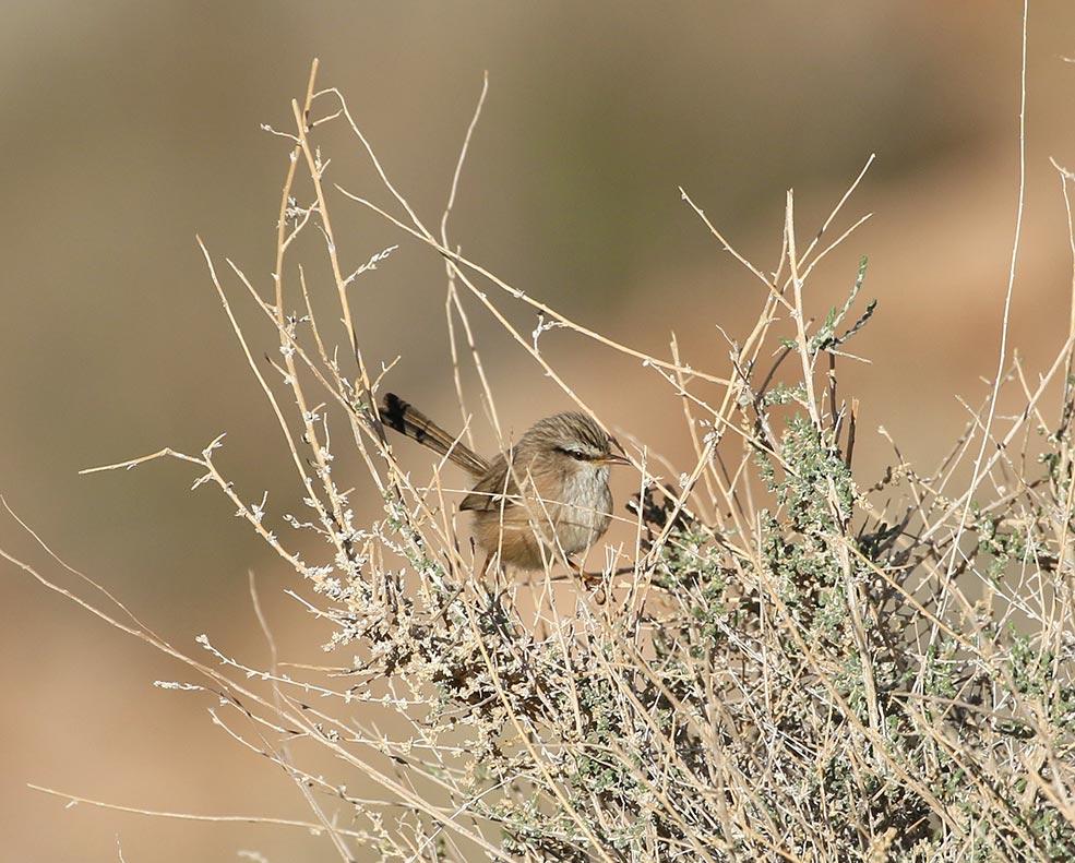 JBW Scrub-warbler
