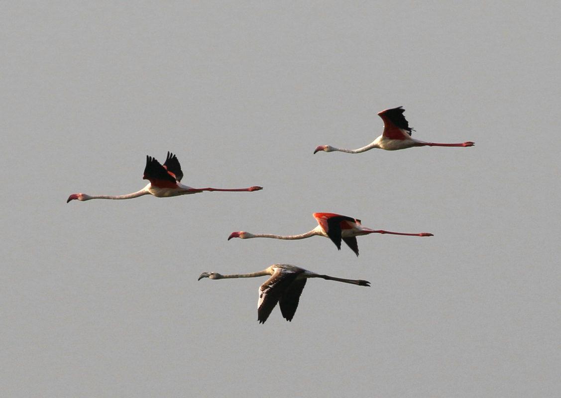 Flamingoes migrating, jbw