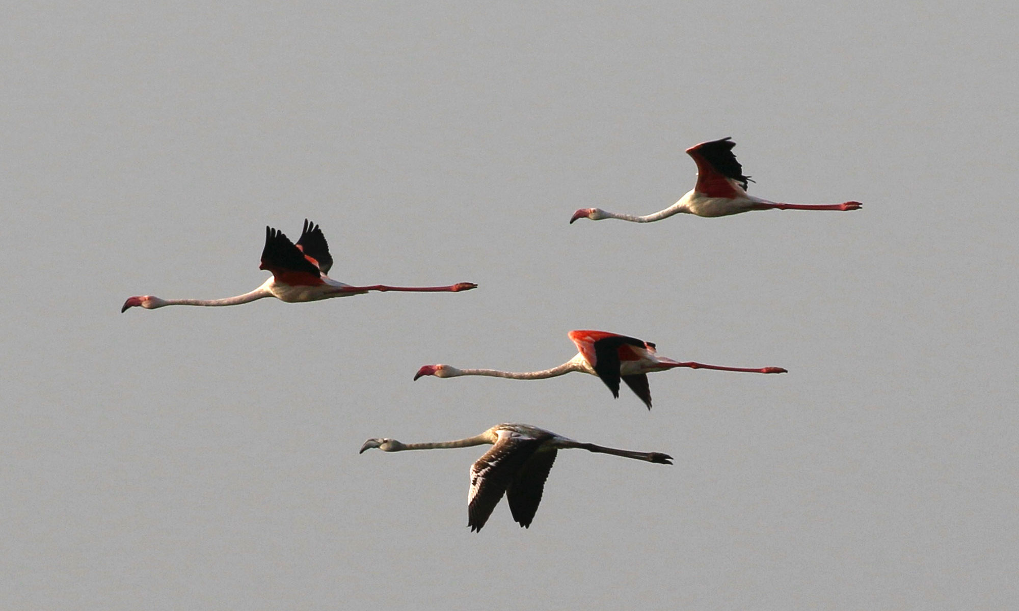 Flamingoes migrating, jbw