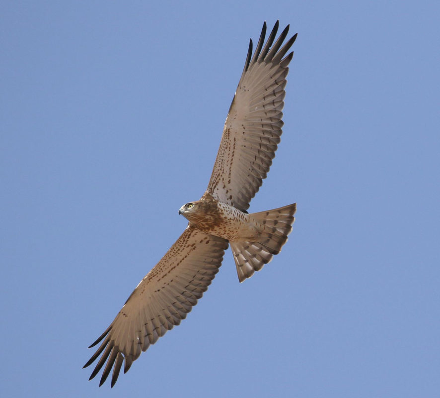Short-toed Snake Eagle, jbw