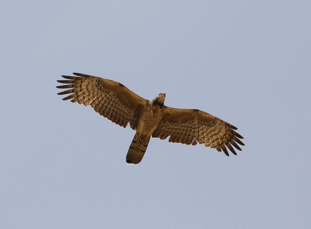Crested Honey-Buzzard, JBW