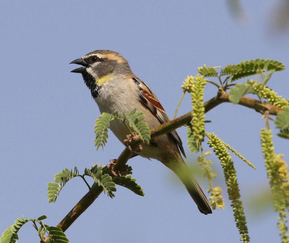 Dead Sea Sparrow, jbw