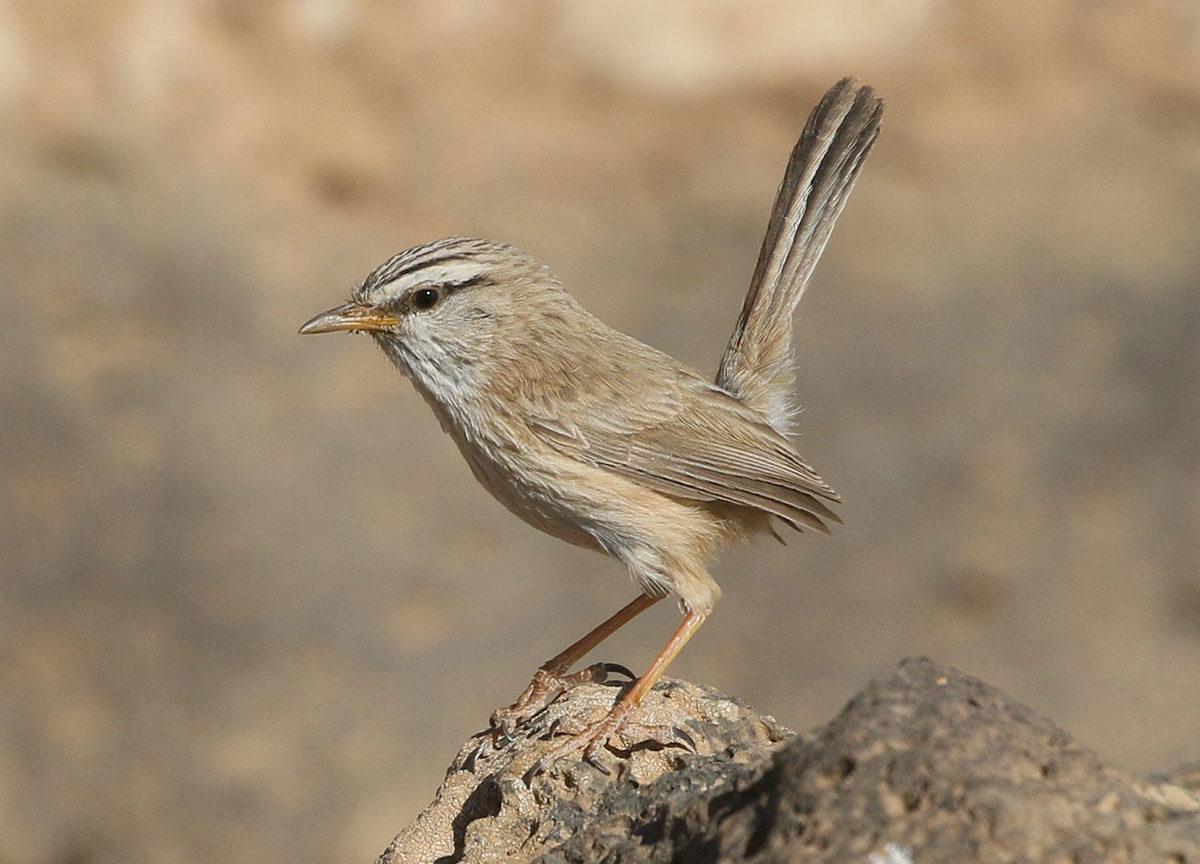 JBW hopping scrub-warbler
