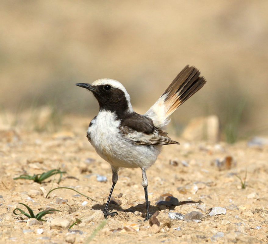 jbw-red-rumped-Wheatear