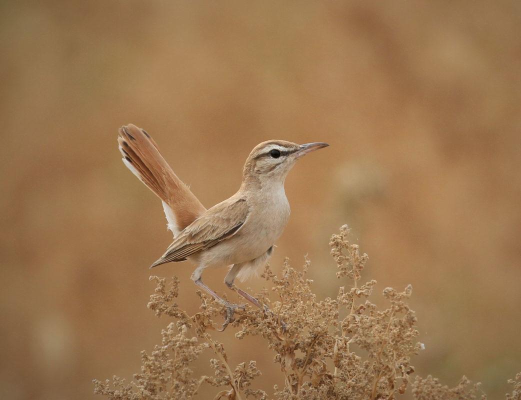 Rufous tailed scrub-robin, jbw, Jordan