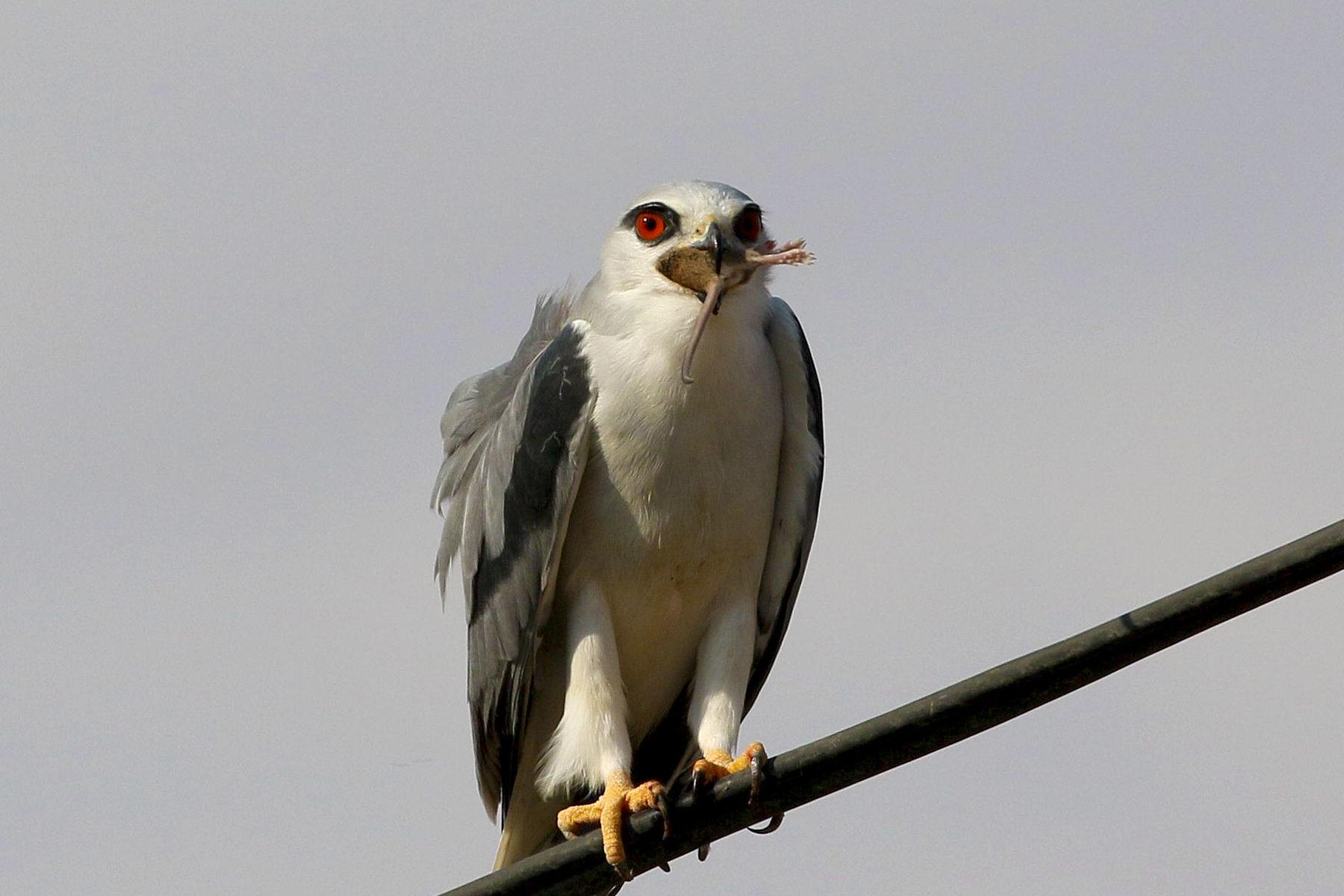 Black-winged-Kite-Ghor-Rama-Jordan-Valley-7-December-2019-photo-by-Fares-Khoury