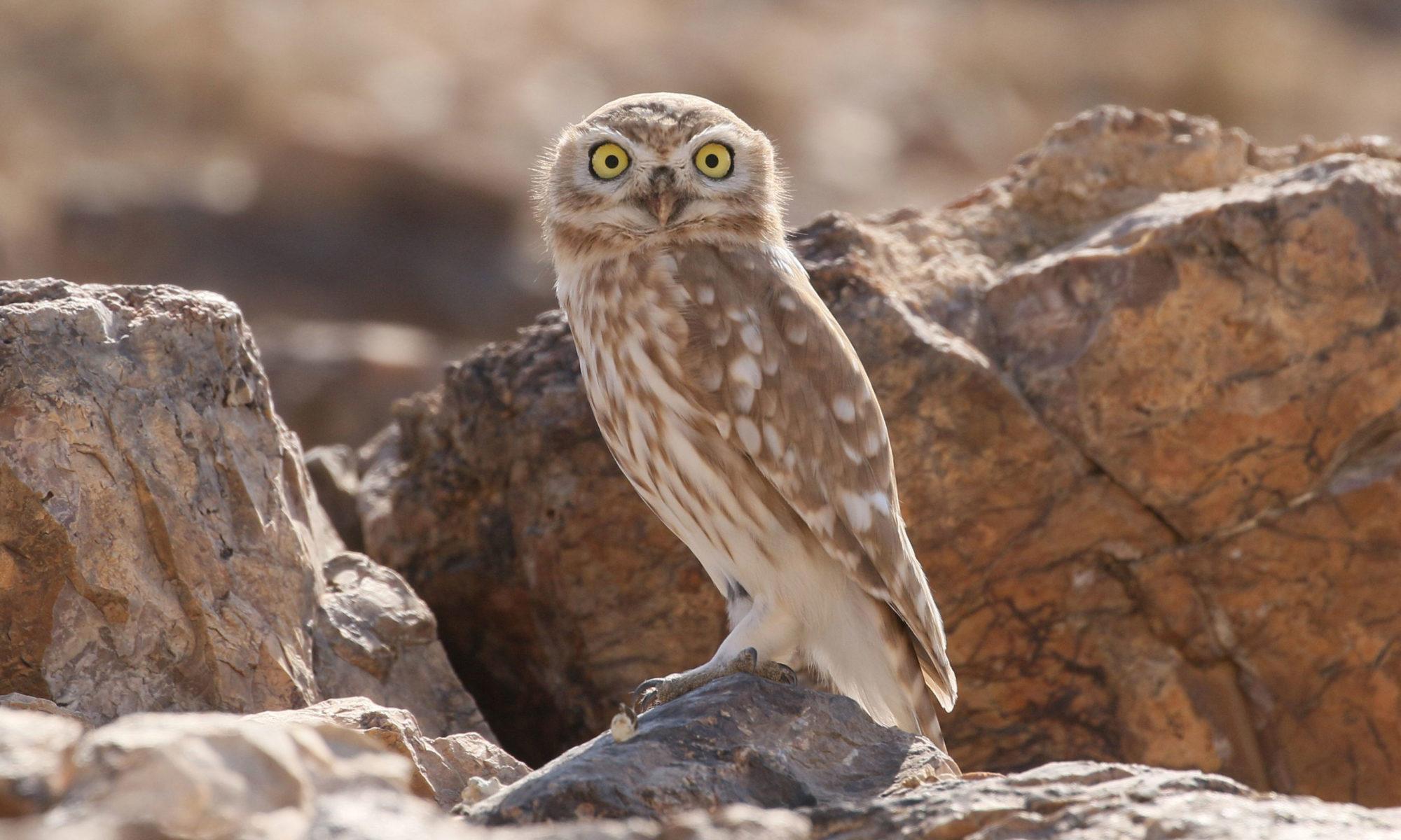 Jordan BirdWatch Owl in Jordan