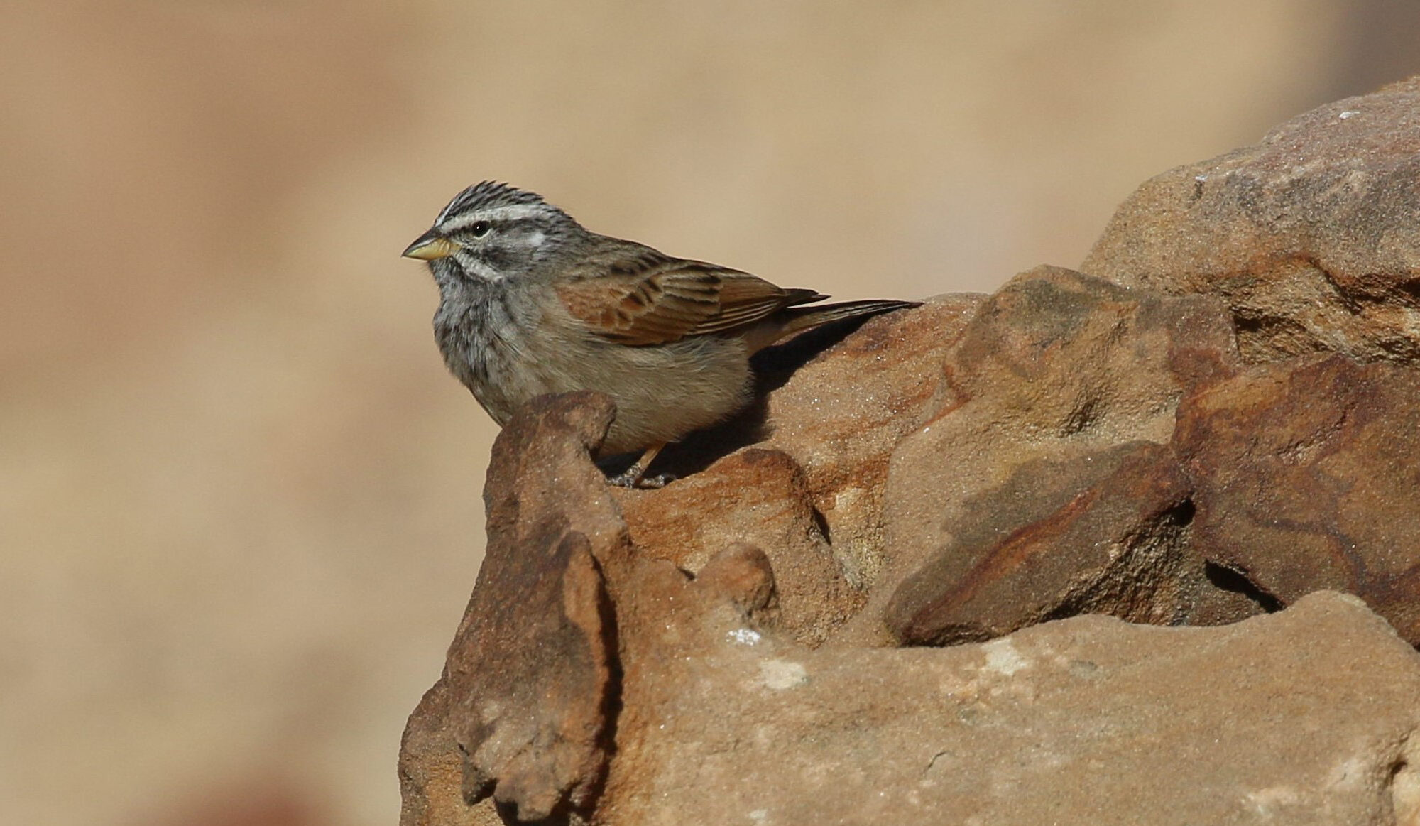 Striolated-bunting