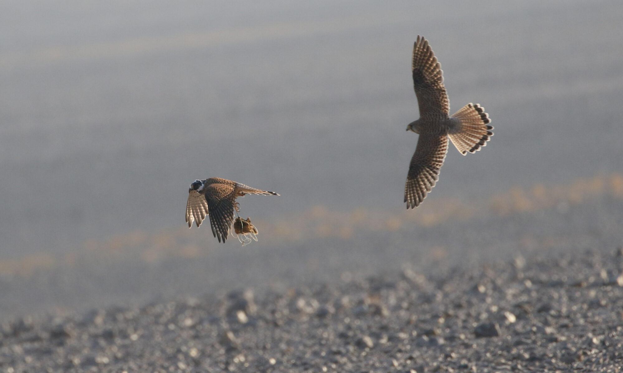 Falcon hunting in Jordan - JBW